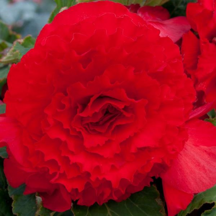 Begonia Majestic Red